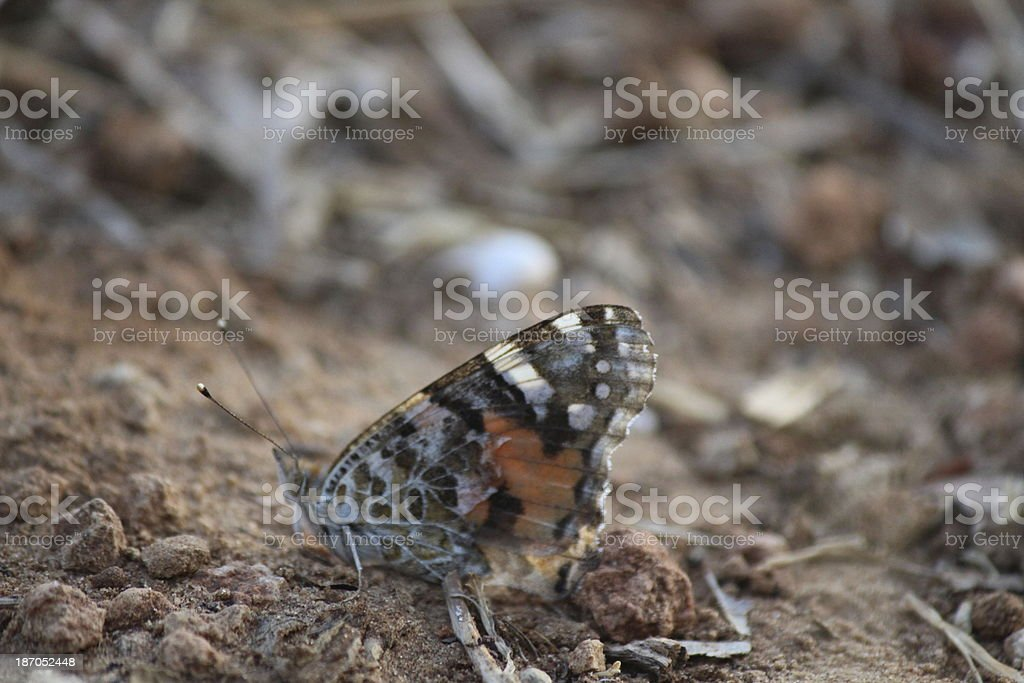 Butterfly Painted Lady stock photo