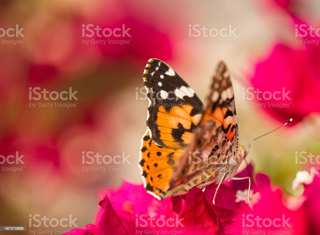 Butterfly, Painted Lady, Spain on a pink red bourgenvilla flower stock photo