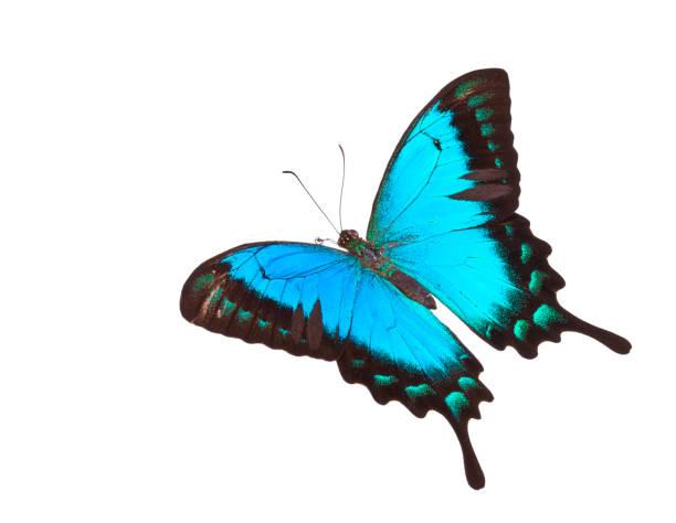 Butterfly papilio lorquinianus albertisi picture id182732382?b=1&k=6&m=182732382&s=612x612&w=0&h=vymyotgapjqmjqjf5lhx3s9i1z3io5opl5kvpfhj9hu=