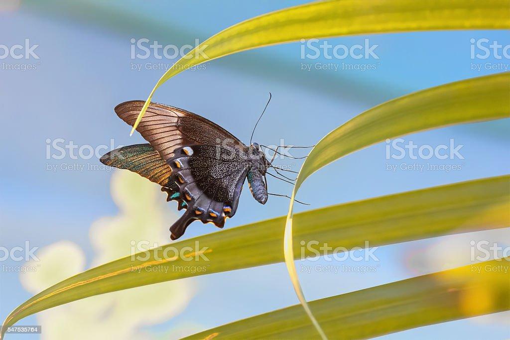 Butterfly Papilio maackii stock photo