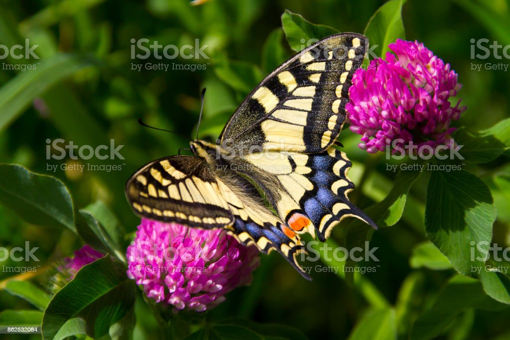 Butterfly - Papilio machaon - Old World Swallowtail stock photo