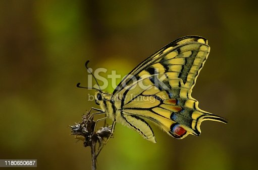 One of the beautiful butterflies Papilio machaon