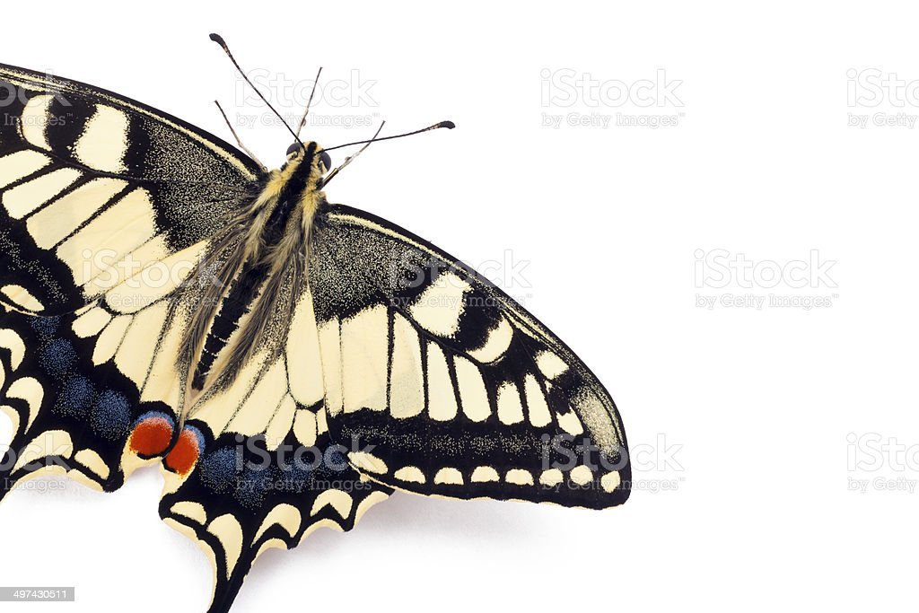 Butterfly Papilio machaon stock photo
