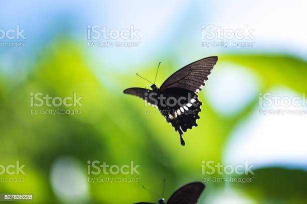 Butterfly papilio polytes flying picture id827635228?b=1&k=6&m=827635228&s=612x612&h=ct2bqybmjvdw0wroovpvlab41ou5s02ffthbnqr1uec=