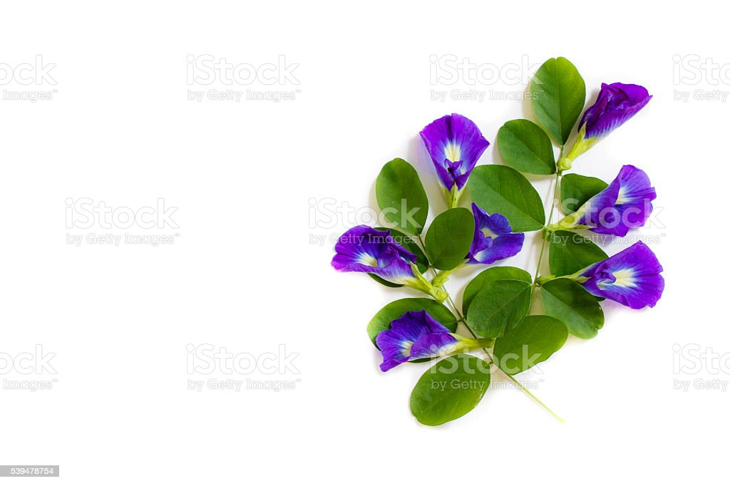Butterfly pea, beautiful purple flowers group on white background. stock photo