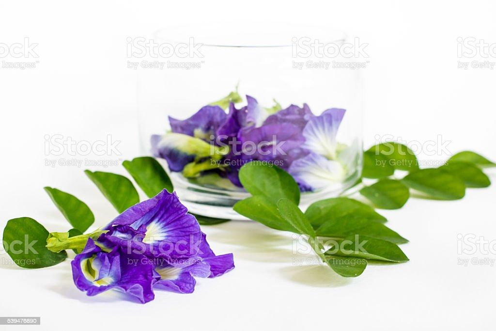 Butterfly pea, beautiful purple flowers in a glass jar. stock photo