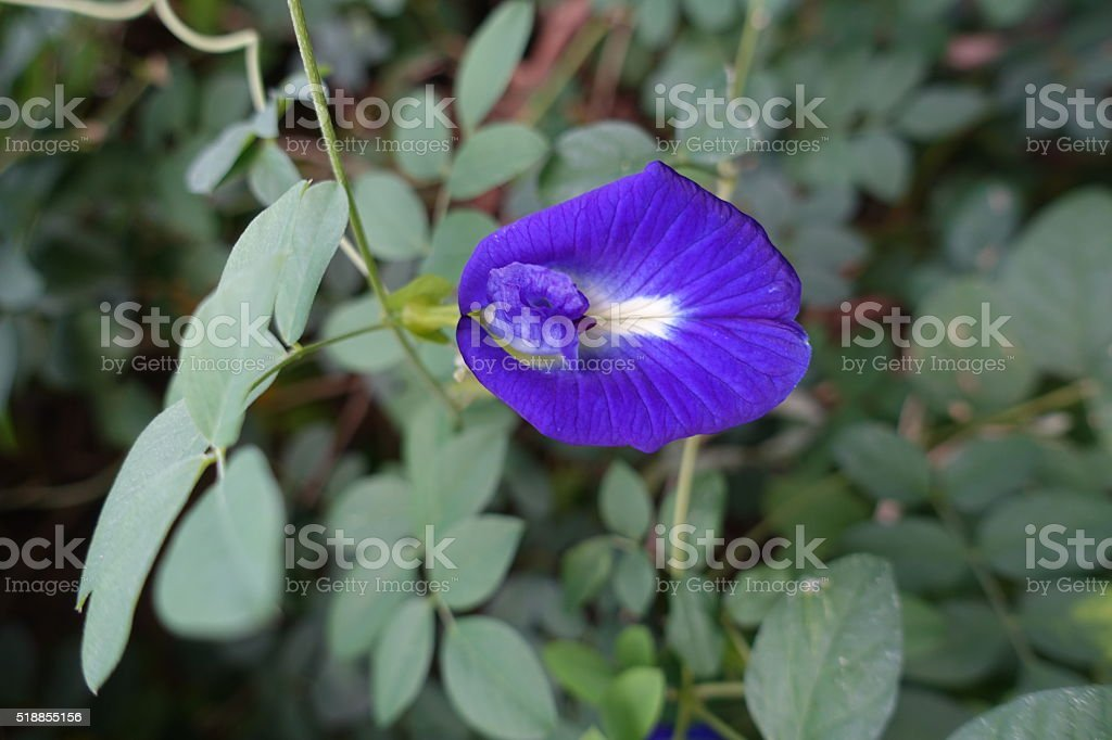 butterfly pea blue pea flower thai herbs stock photo