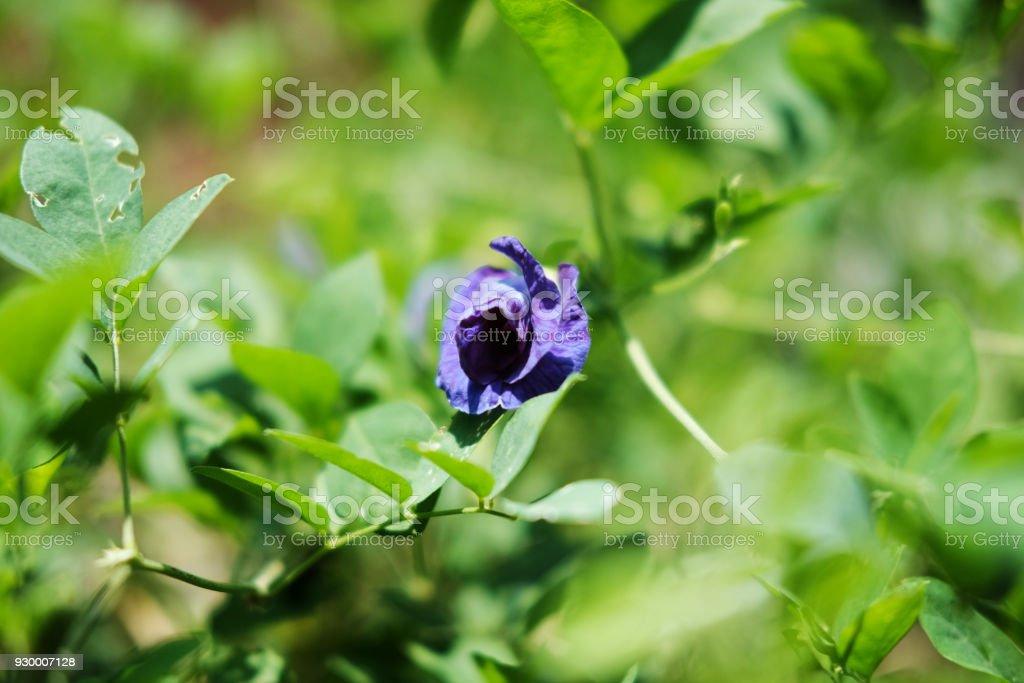 Butterfly pea, Clitoria ternatea flower, purple flower in the garden stock photo
