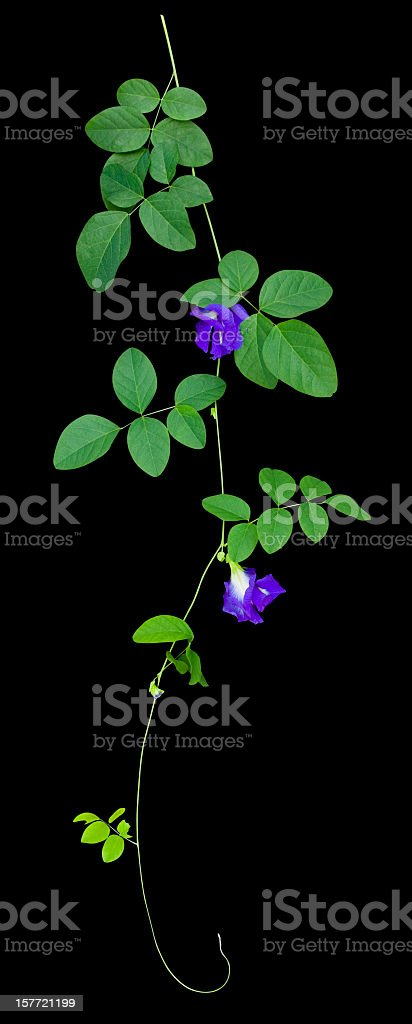 Butterfly Pea creeper plant, isolated on black with clipping path. stock photo