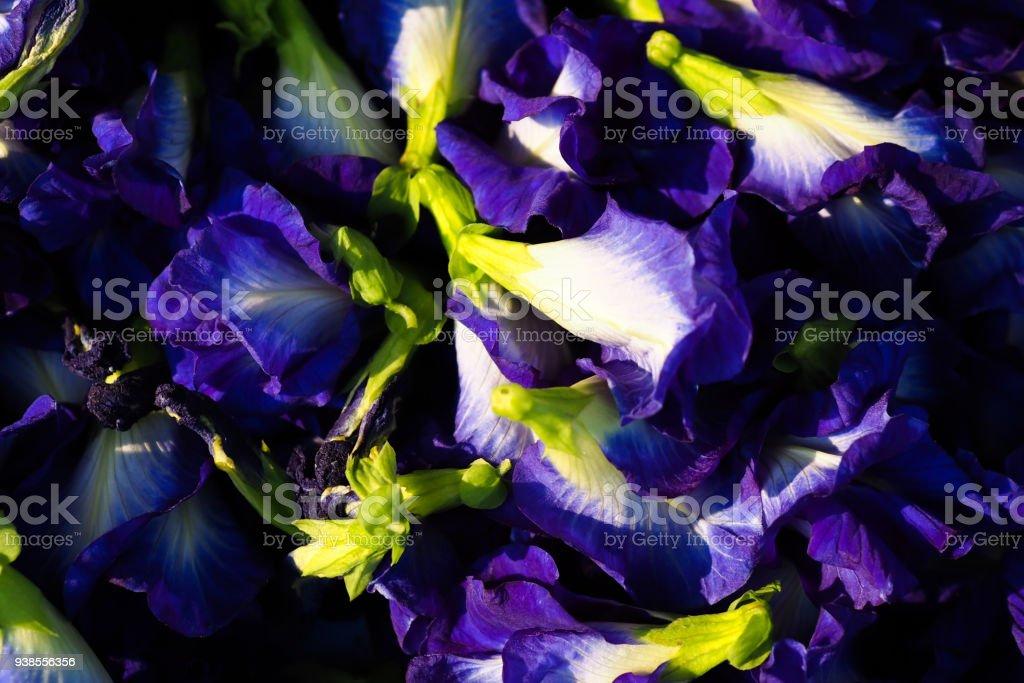Butterfly Pea Flower - Clitoria ternatea stock photo