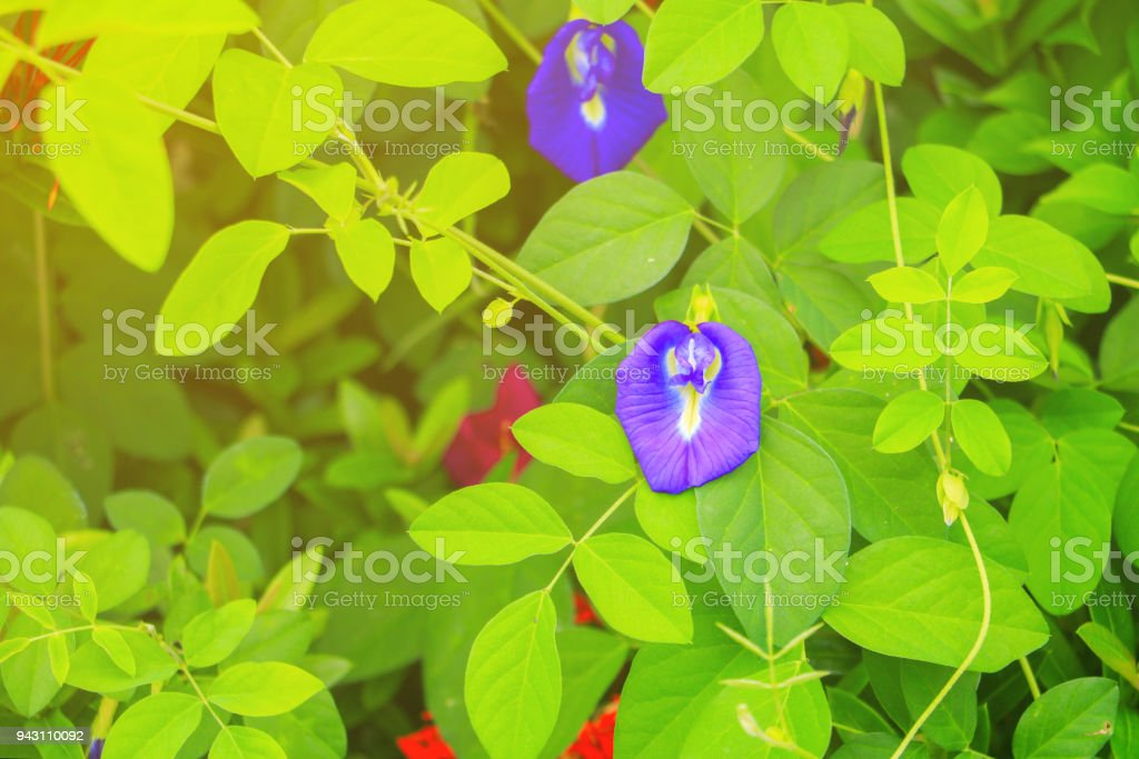 Butterfly pea flower or Blue pea and leaf in nature with copy space ( Clitoria ternatea L ) stock photo
