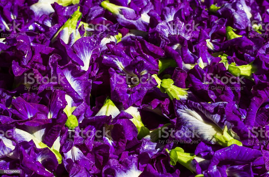 Butterfly pea flower or Clitoria ternatea stock photo