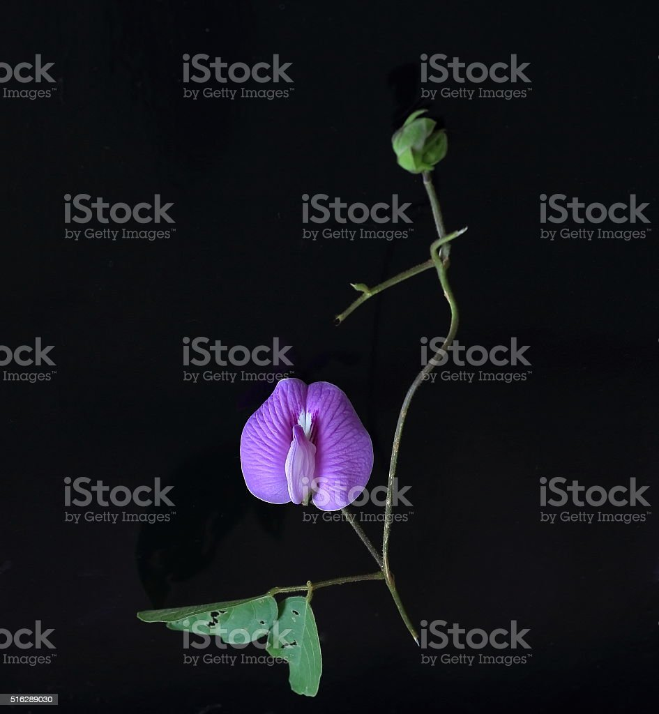 Butterfly pea flower stock photo