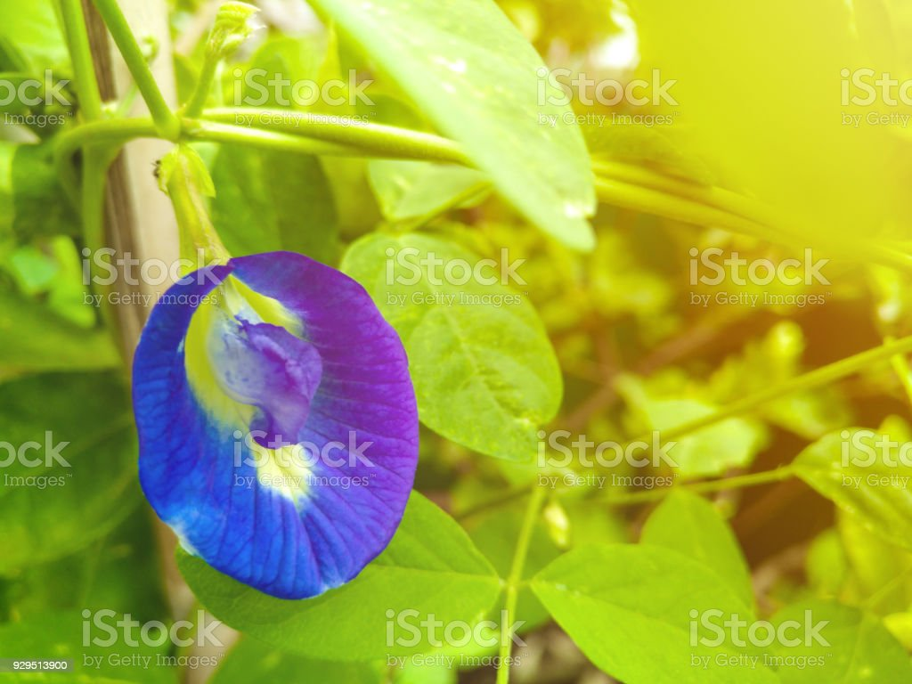 Butterfly pea flower tea is made from the ternatea flowers and dried lemongrass and changes color depending on what is added to the liquid, with lemon juice turning it purple stock photo
