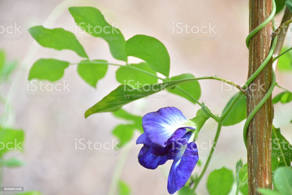 Butterfly pea flower wiggle tree. stock photo