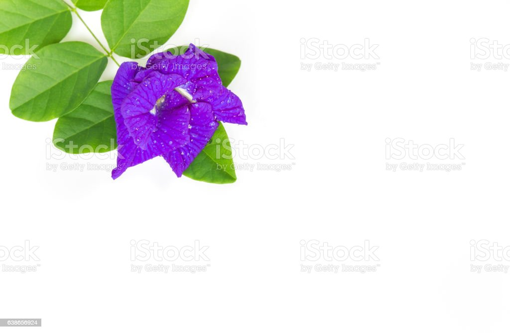 Butterfly Pea flower with leaves isolate on white background. stock photo