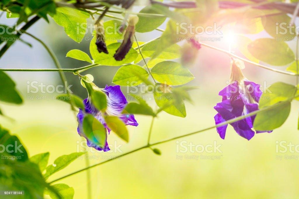 Butterfly pea flowers, Clitoria ternatea stock photo