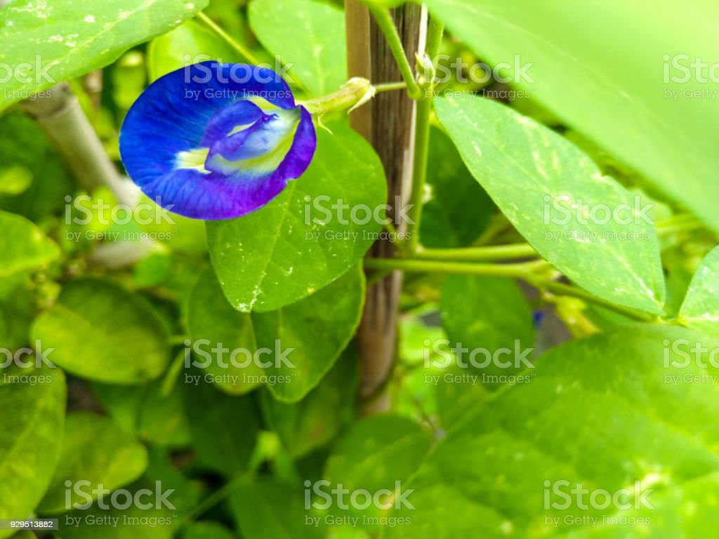 butterfly pea, in Southeast Asia, the flower is used as a natural food colouring. Known as 'bunga telang', in Malay cooking, an aqueous extract is used to colour glutinous rice for 'kuih ketan' stock photo
