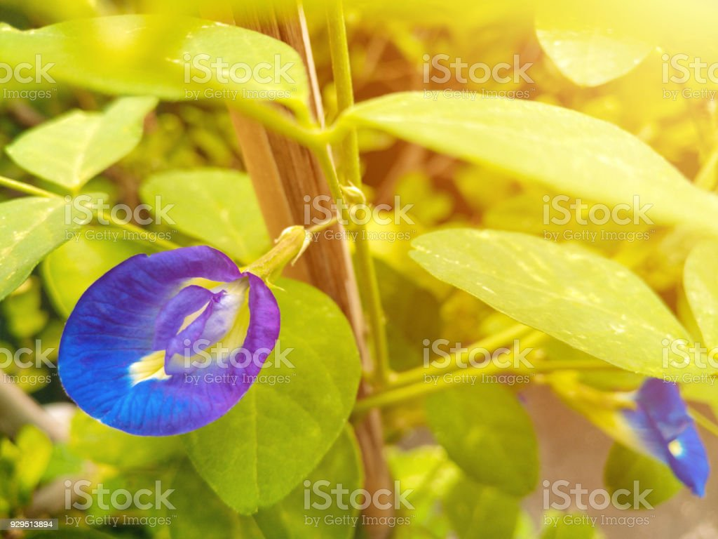 butterfly pea is native to tropical equatorial Asia Thailand and Malaysia stock photo