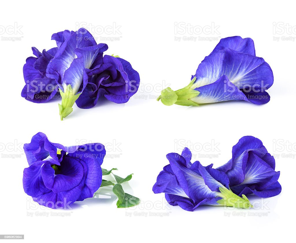 Butterfly Pea isolated on white background royalty-free stock photo