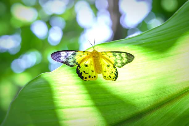 Butterfly pea on a tree branch resting in summer in rain forest picture id694689136?b=1&k=6&m=694689136&s=612x612&w=0&h=d18pbtrdwwd25fhvffnmj3tjl4gcrcu35yeug3fjks8=