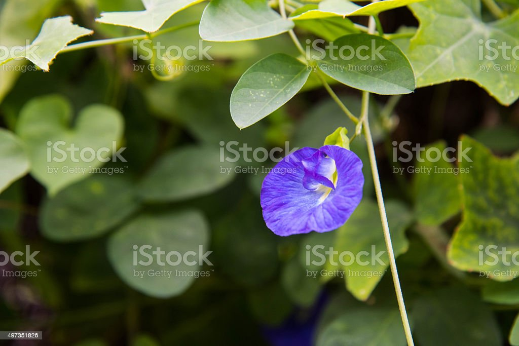 Butterfly Pea. (Clitoria ternatea) stock photo