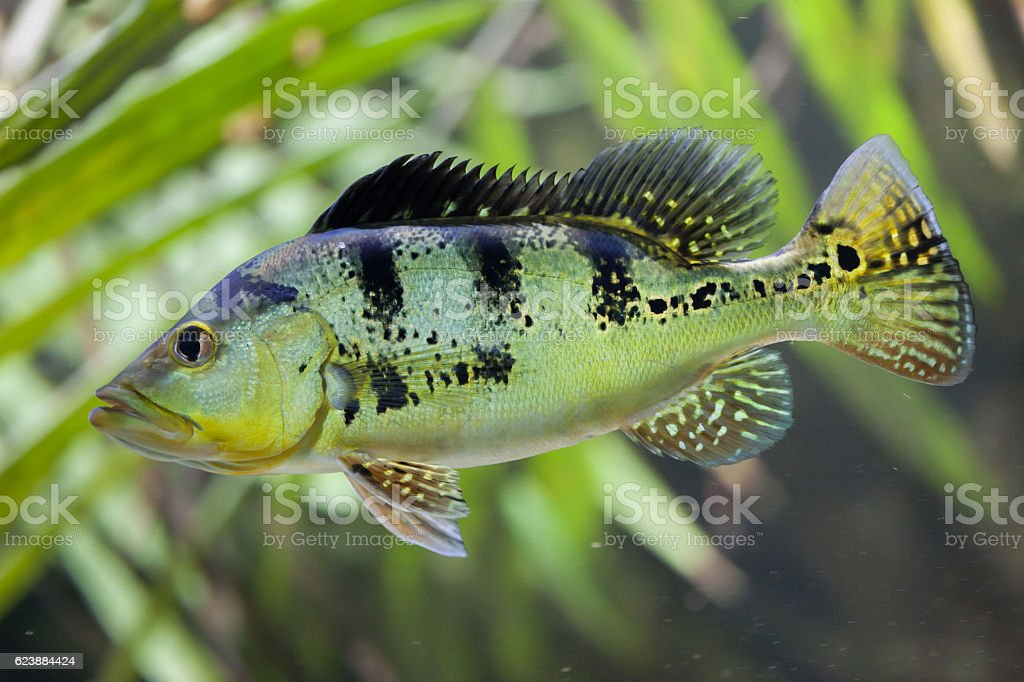 Butterfly peacock bass (Cichla ocellaris) stock photo