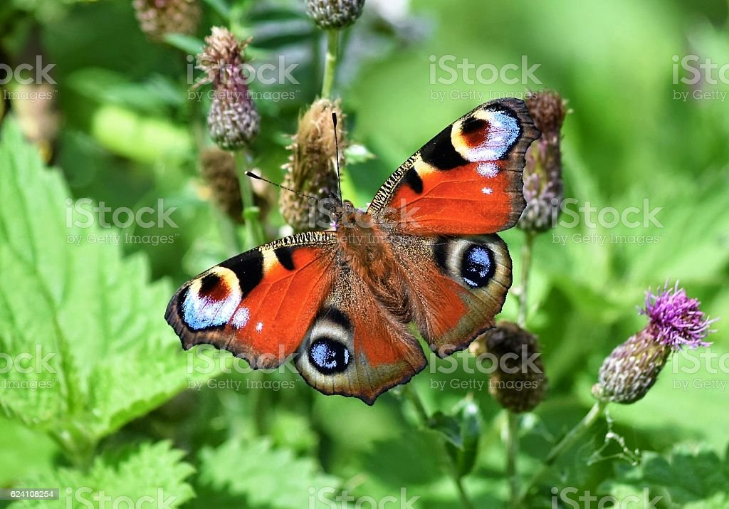Papillon Paon du jour (Inachis io) stock photo