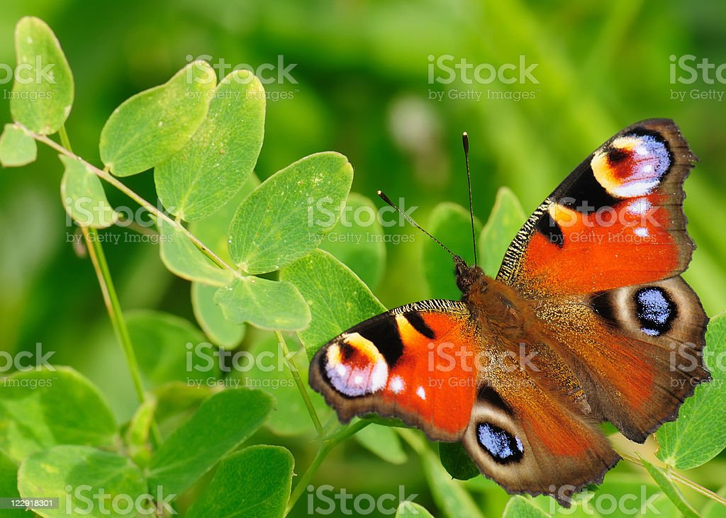 Butterfly peacock (Inachis Io). stock photo