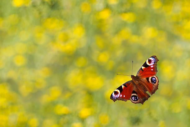 Schmetterling peacock. – Foto
