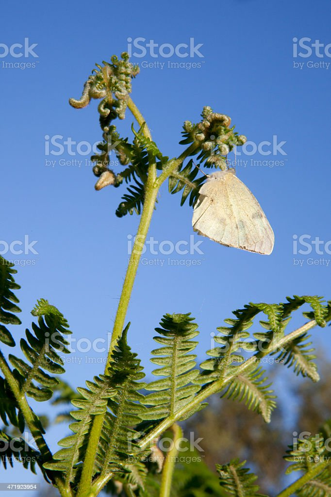 Butterfly perched over a common bracken stock photo