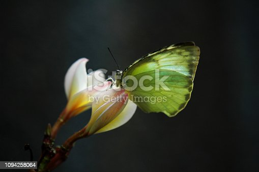 Beautiful tropical Balinese butterfly and spa flower.