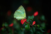 Beautiful tropical Balinese butterfly at Bali Butterfly Park.