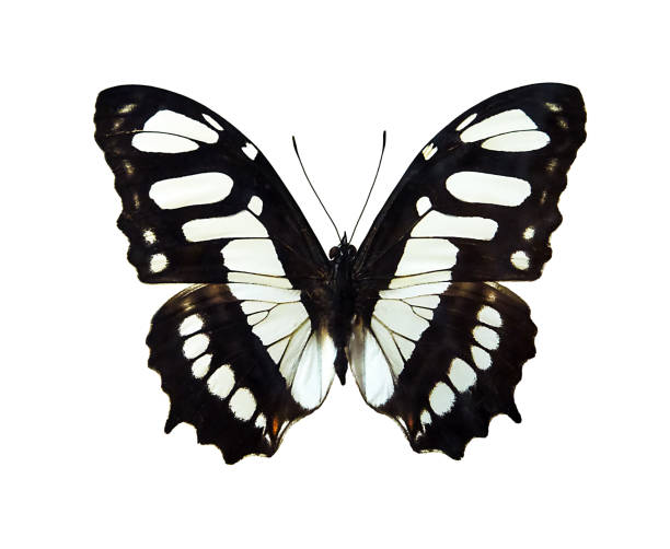 Butterfly picture id1135325838?b=1&k=6&m=1135325838&s=612x612&w=0&h=jcngdeghnolmdgkeksacldcocpfj iwhilbfovgydja=