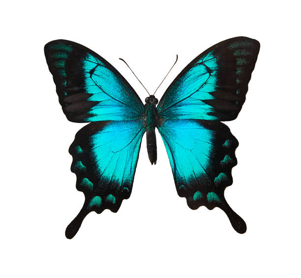 Butterfly picture id1135325843?b=1&k=6&m=1135325843&s=612x612&w=0&h=s8o0txk yuxhnlzrt0rh5drlemzz53zngbtuzlphlbi=