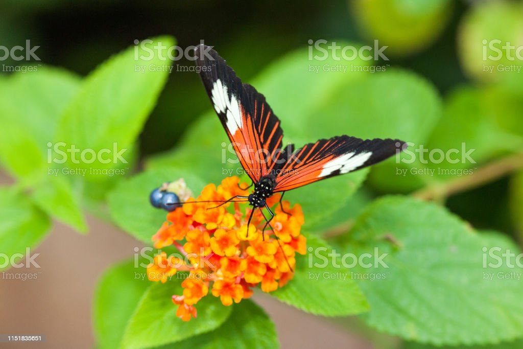 Butterfly - Royalty-free Animal Stock Photo