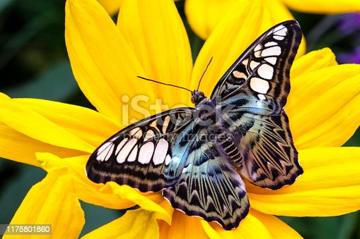 Swallowtail butterfly on a black-eyed Susan flower (ranunculus)