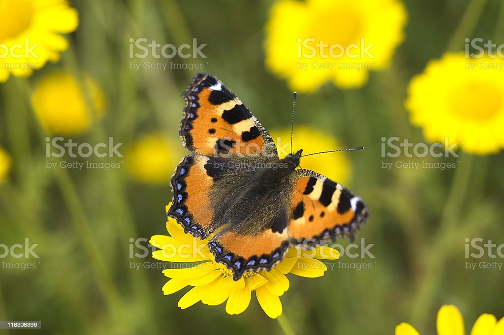 Butterfly (Aglais urticae) stock photo