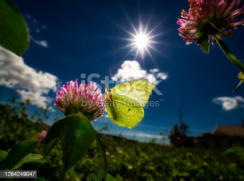 Butterfly birmstone on a red clover in bright back lit light with blue sky