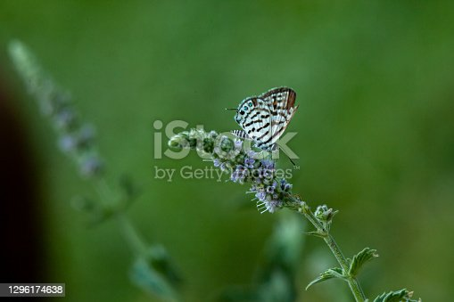 View of a Turquoise Spotted Butterfly.