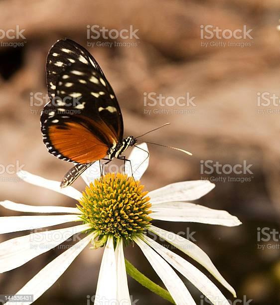 Butterfly picture id144336431?b=1&k=6&m=144336431&s=612x612&h=slrxxnqgflcstseb8ixh2 97clfcn5syoudvcmafiuc=