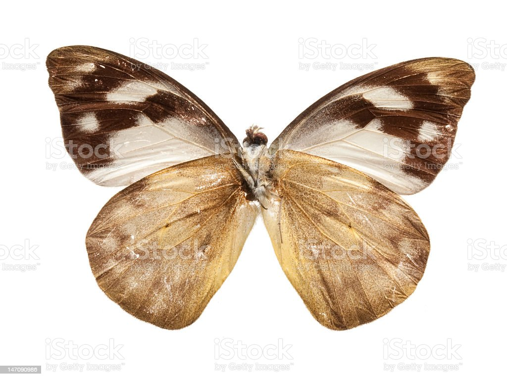 Butterfly (Delias sp.) royalty-free stock photo