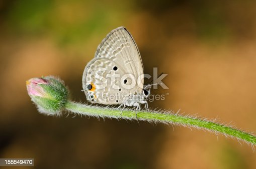 Butterfly (Small Lycaenid)