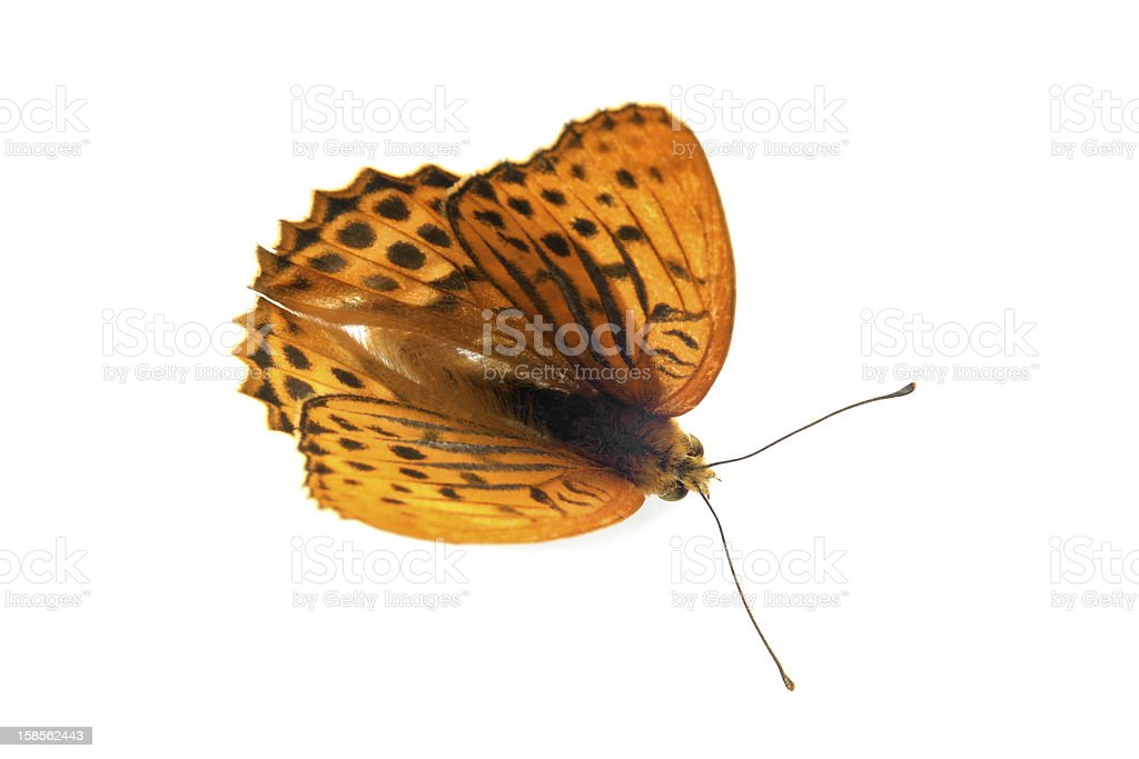 Butterfly (실버-워시드 Fritillary) royalty-free 스톡 사진