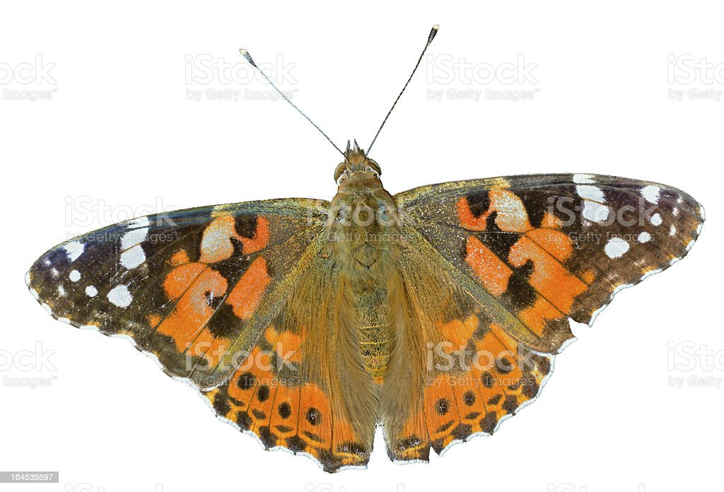 Butterfly (Vanessa cardui) stock photo