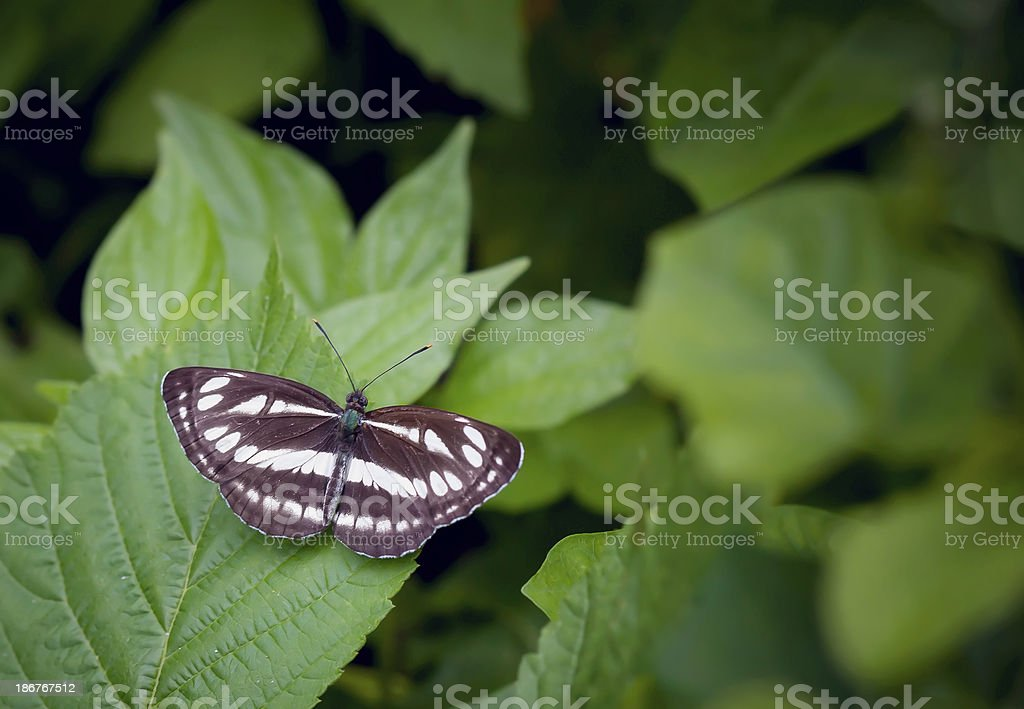 butterfly (Great Sergeant) royalty-free stock photo