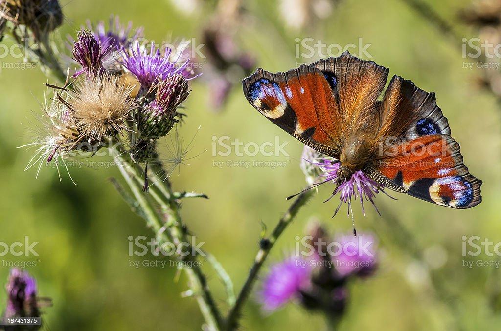 V butterfly stock photo