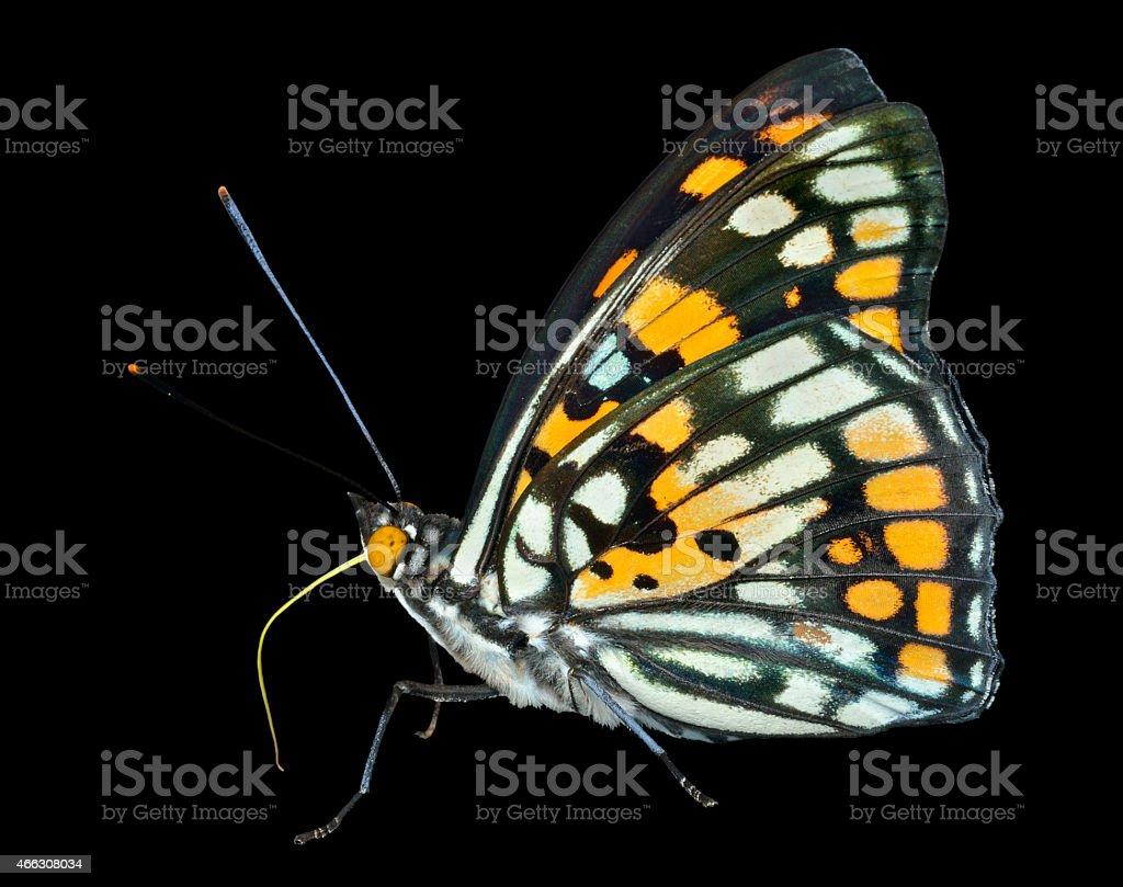 Butterfly (Sephisa dichroa) stock photo