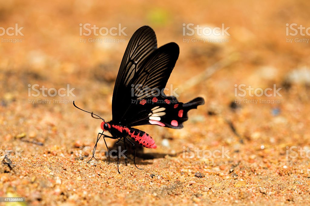 butterfly (pachliopta aristolochiae) royalty-free stock photo