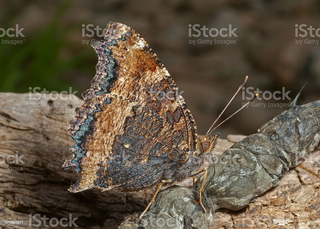 Butterfly (Polygonia C-aureum) royalty-free stock photo